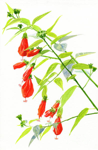 Wall Art - Painting - Red Turks Cap Hibiscus by Sharon Freeman