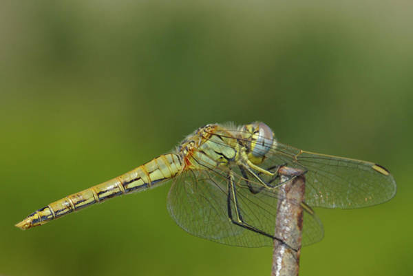 Photograph - Red-veined Darter Dragonfly by Paul Cowan