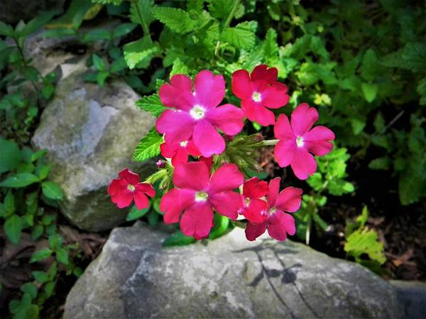 Photograph - Red Verbena by Ken Bradford