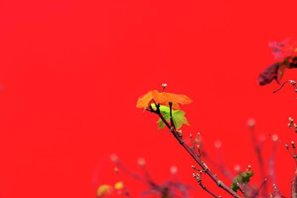 Photograph - Red Wall Fall Color by Jerry Sodorff