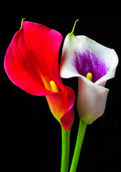 Calla Lilies Photograph - Red White And Purple Calla Lilies by Garry Gay
