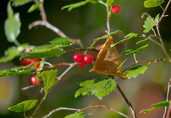 Photograph - Red Wild Goosberries by Leif Sohlman