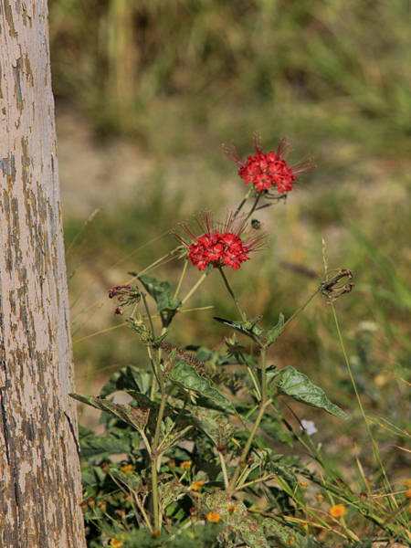 Photograph - Red Wildflower by Charles McKelroy