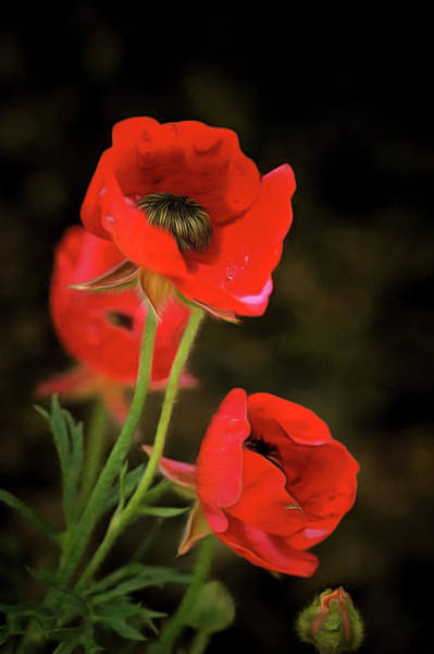 Digital Art - Red Wildflowers Closeup by Michael Goyberg