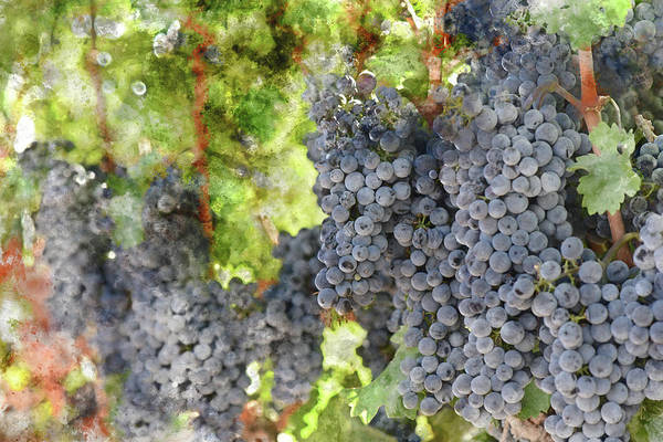 Photograph - Red Wine Grapes In A Bunch On The Vine by Brandon Bourdages