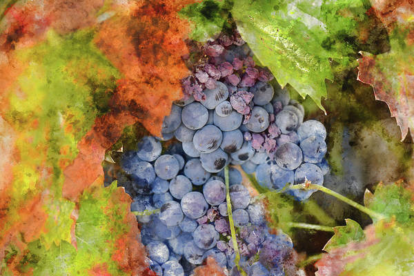 Photograph - Red Wine Grapes In The Fall by Brandon Bourdages