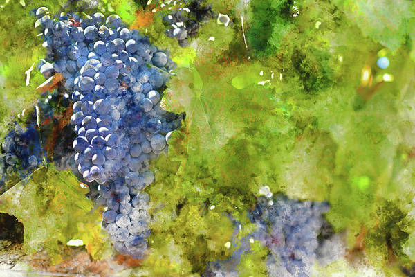 Photograph - Red Wine Grapes On The Vine In California by Brandon Bourdages
