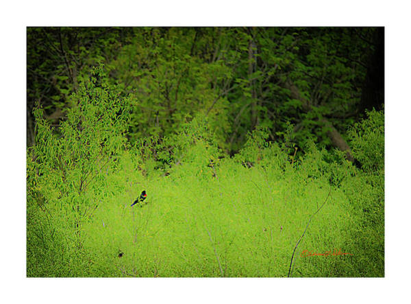 Photograph - Red-wing Black Bird Song by Edward Peterson