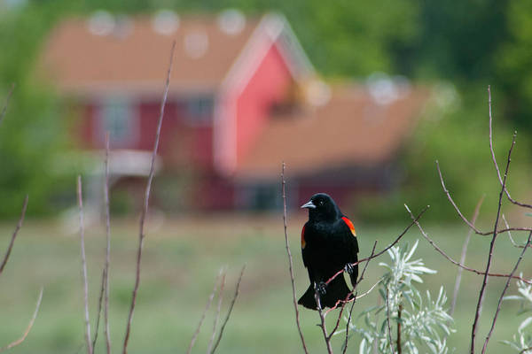 Photograph - Red-winged Blackbird With Red House Background by Cascade Colors