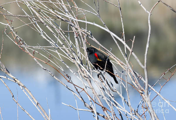 Photograph - Red Winged Black Bird At Chatfield by Steve Krull