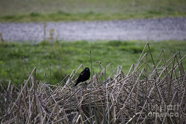 Photograph - Red Winged Black Bird by Donna L Munro