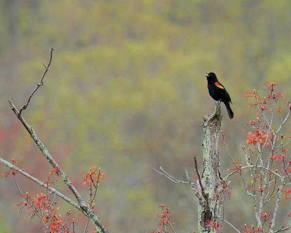 Photograph - Red Winged Blackbird 2017 by Bill Wakeley