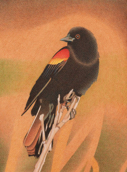 Drawing - Red-winged Blackbird 3 by Dan Miller