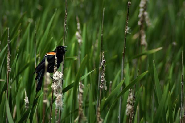 Photograph - Red-winged Blackbird Calling by  Onyonet  Photo Studios