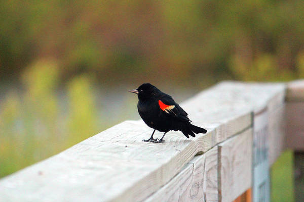 Photograph - Red Winged Blackbird by Cynthia Guinn