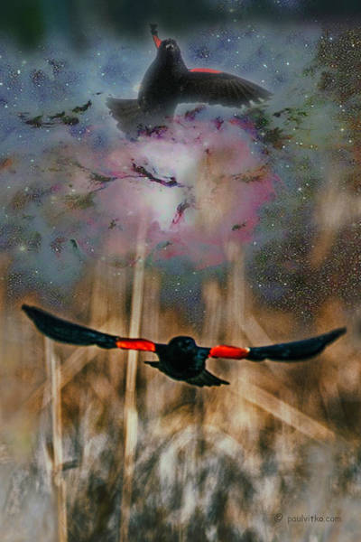 Photograph - Red Winged Blackbird Dreaming.... by Paul Vitko