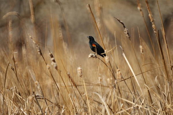 Red-winged Blackbirds Photograph - Red Winged Blackbird by Ernie Echols
