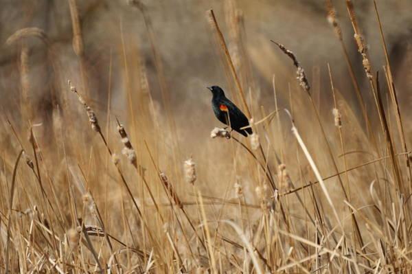 Red-winged Blackbird Photograph - Red Winged Blackbird by Ernie Echols