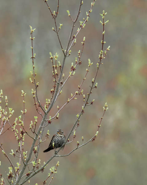 Photograph - Red Winged Blackbird Female 2017 by Bill Wakeley