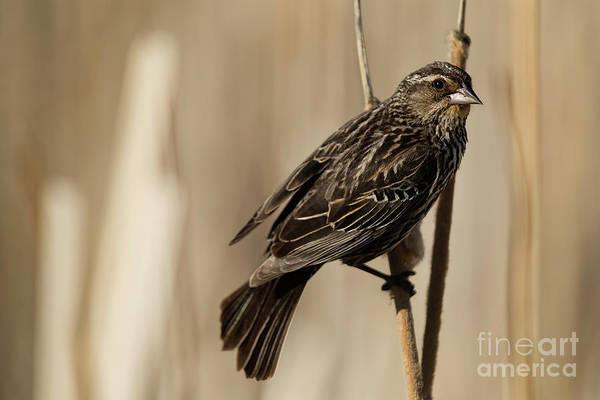 Photograph - Red-winged Blackbird - Female by Brad Allen Fine Art
