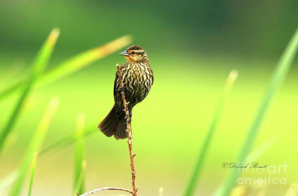 Photograph - Red Winged Blackbird Female by Deborah Benoit
