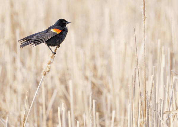 Red-winged Blackbird Wall Art - Photograph - Red-winged Blackbird In A Minnesota Wetland by Jim Hughes