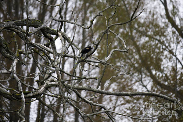 Photograph - Red Winged Blackbird In Tree by Donna L Munro