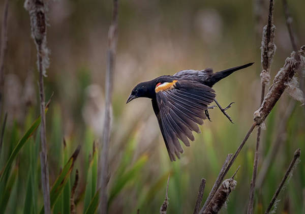 Photograph - Red Winged Blackbird by Randy Hall