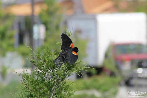 Photograph - Red-winged Blackbird by Robert Banach