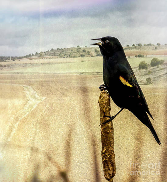 Photograph - Red-winged Blackbird by Sal Ahmed