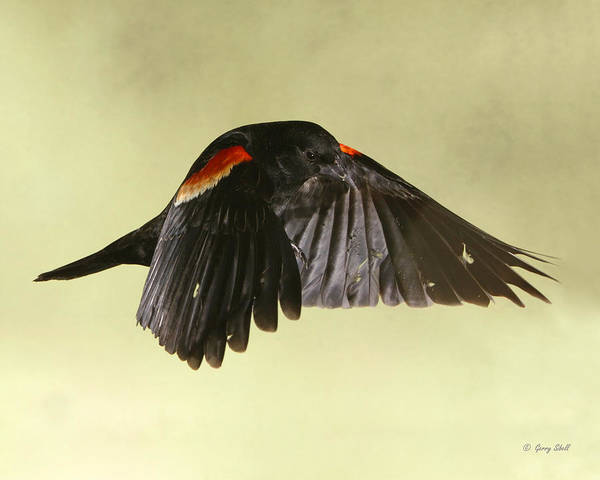 Photograph - Red-winged Dracula  by Gerry Sibell