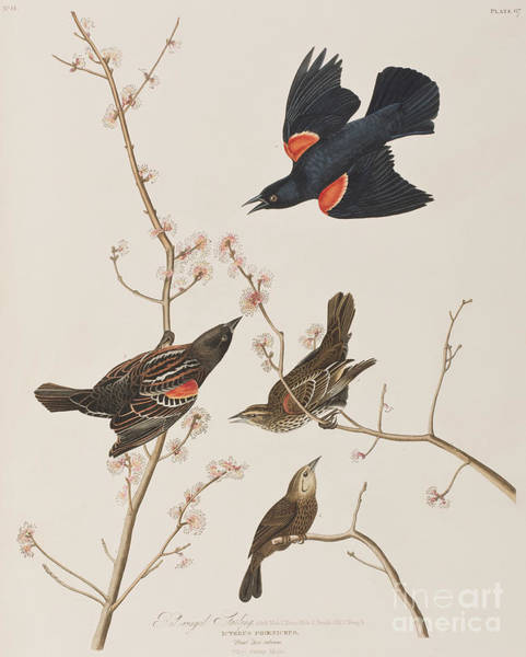 Red-winged Blackbird Wall Art - Painting - Red Winged Starling Or Marsh Blackbird by John James Audubon