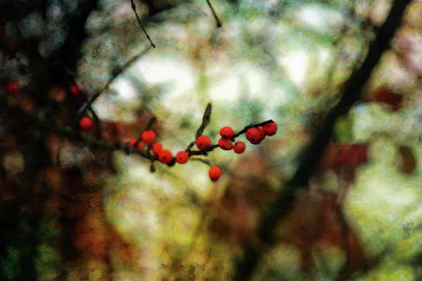Photograph - Red Winter Berries Impression 7550 Idp_2 by Steven Ward