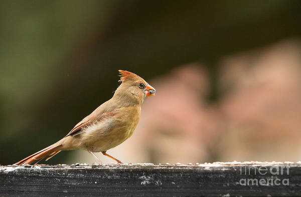 Photograph - Redbird Gazing by James Hennis