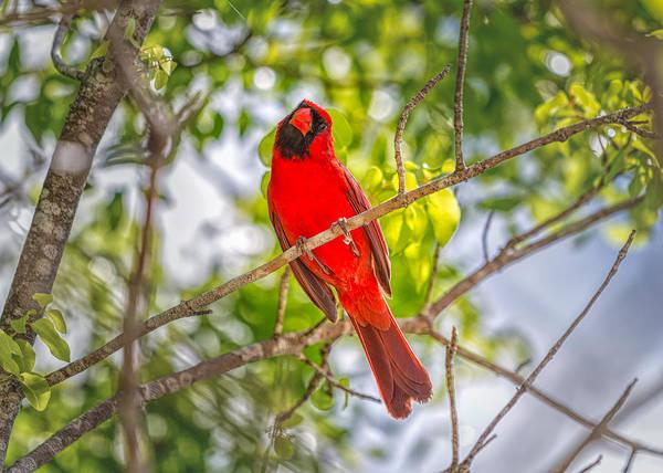 Photograph - Redbird by John M Bailey