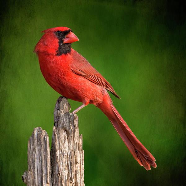 Wall Art - Photograph - Redbird Looking Back by Bill Tiepelman
