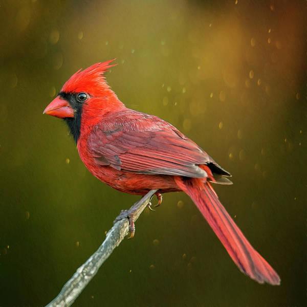 Wall Art - Photograph - Redbird On A Stick by Bill Tiepelman