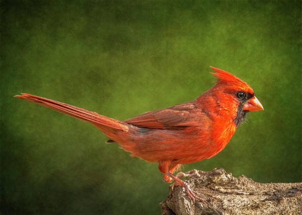 Wall Art - Photograph - Redbird Tail Up by Bill Tiepelman