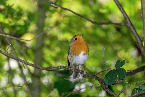 Twitcher Wall Art - Photograph - Redbreast. by Angela Aird