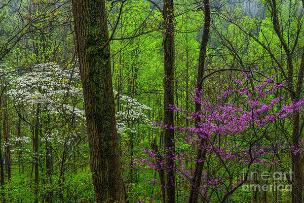 Photograph - Redbud And Dogwood Woodland by Thomas R Fletcher