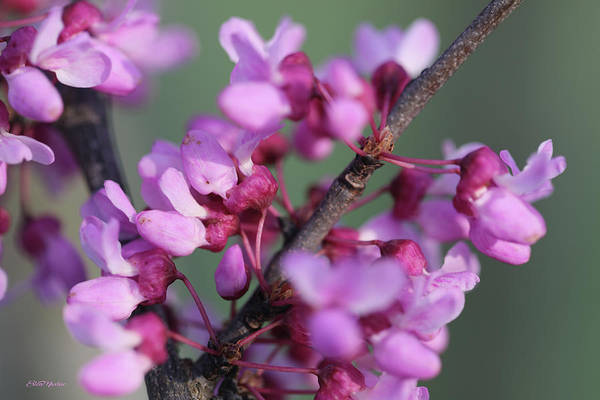 Photograph - Redbud Blossoms 1061 by Ericamaxine Price
