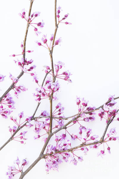 Wall Art - Photograph - Redbud by Elena Nosyreva