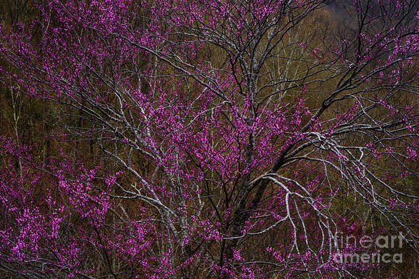 Photograph - Redbud In The Spring Woods by Thomas R Fletcher
