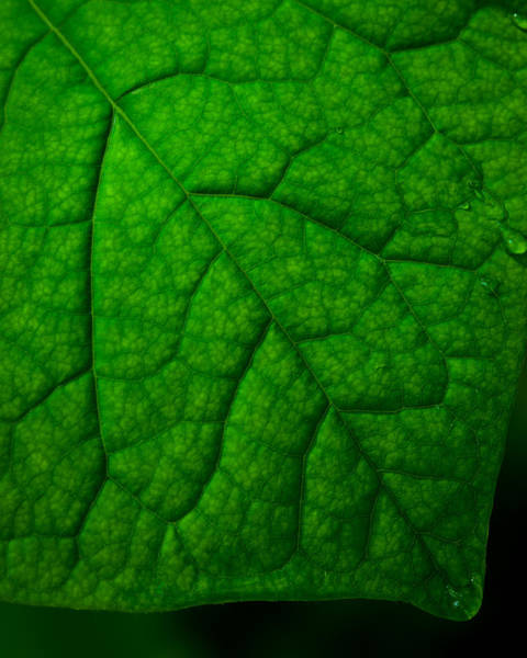 Photograph - Redbud Leaf by Jeff Phillippi