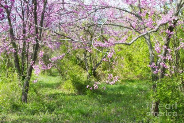 Photograph - Redbud Trees 1 by Chris Scroggins