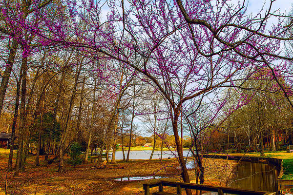 Photograph - Redbuds In Bloom - Floral Landscape by Barry Jones