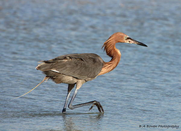 Photograph - Reddish Egret by Barbara Bowen