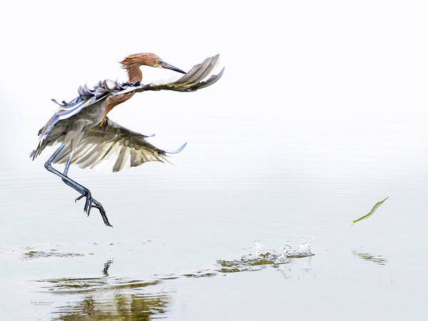 Photograph - Reddish Egret Chasing Fish by Judi Dressler