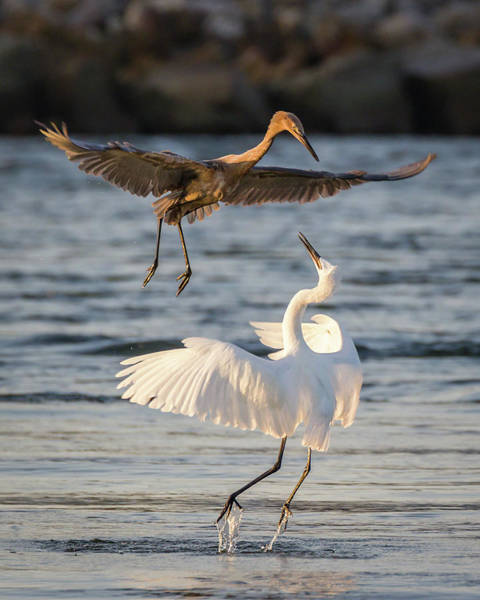 Photograph - Reddish Egret Confrontation by Dawn Currie