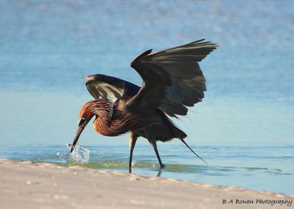Photograph - Reddish Egret Nabs A Fish by Barbara Bowen